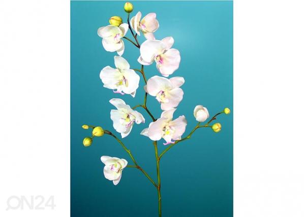 Orkidea PHALAENOPSIS, 2 kpl