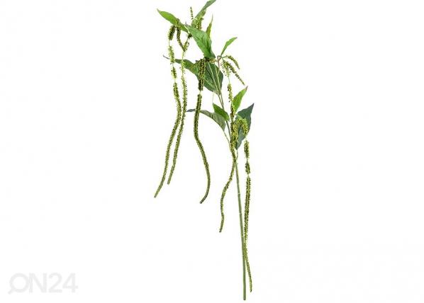 Celosia, 6 kpl